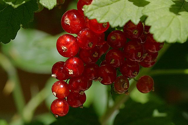 Imagen de un racimo de grosellas, una fruta muy rica en vitamina C